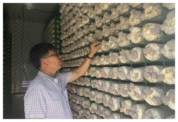 马湾新村栽培猴脑菌用上农业智能方舱
