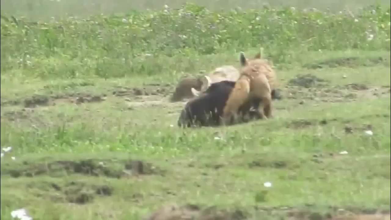 刚出生的小角马被抛弃,两只胡狼捡便宜了