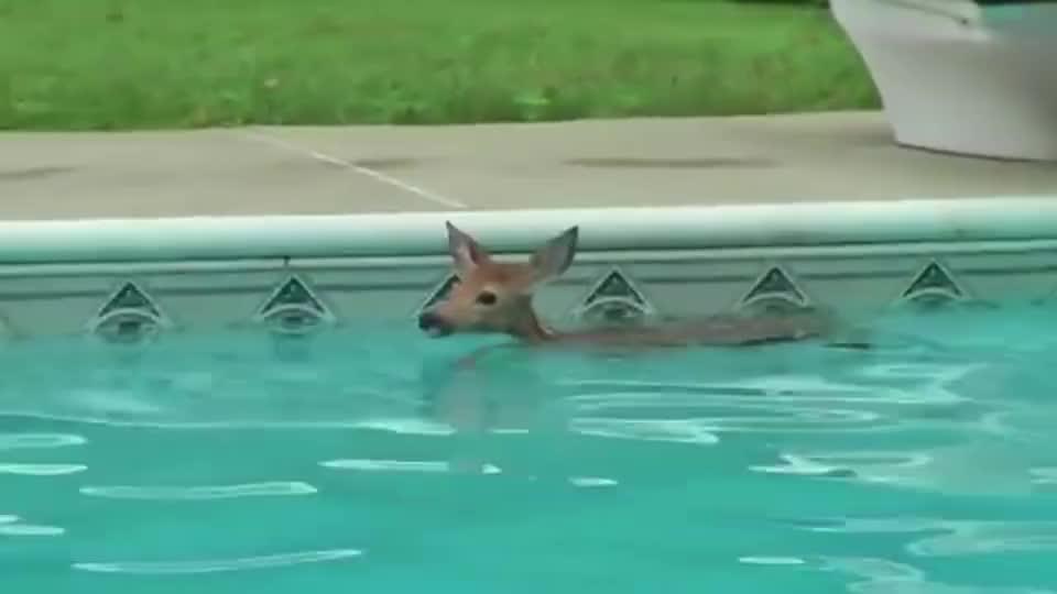 女子想去泳池游泳,开门一看吓坏了,一群熊正在泳池里嬉戏!