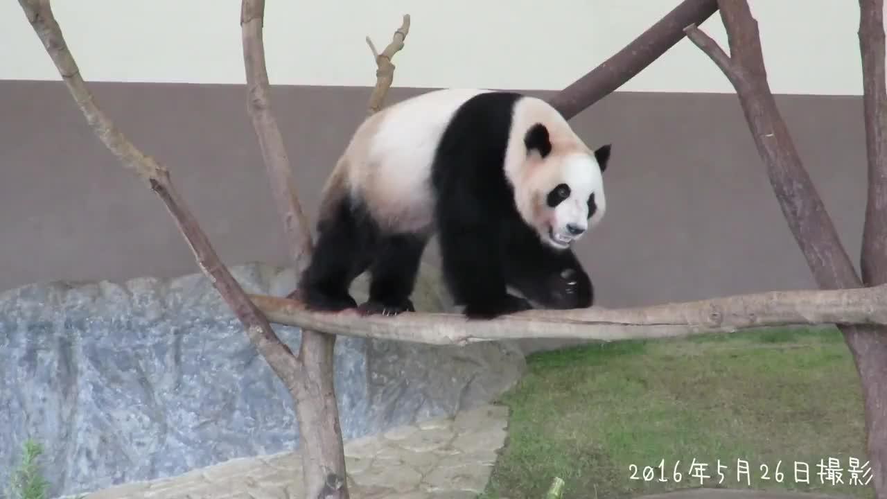 熊类动物都是可以爬树,大熊猫这么大的块头一样能行