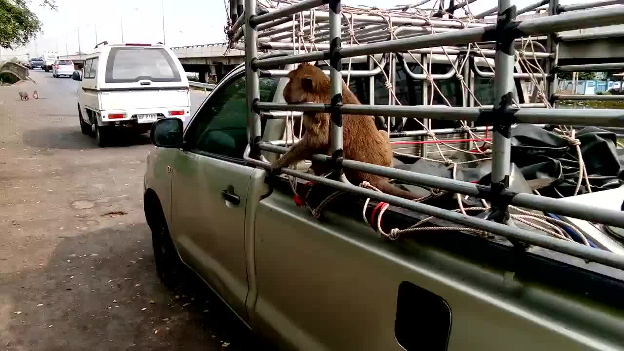 猴子搭上了顺便车,它们是想迁徙到哪去?