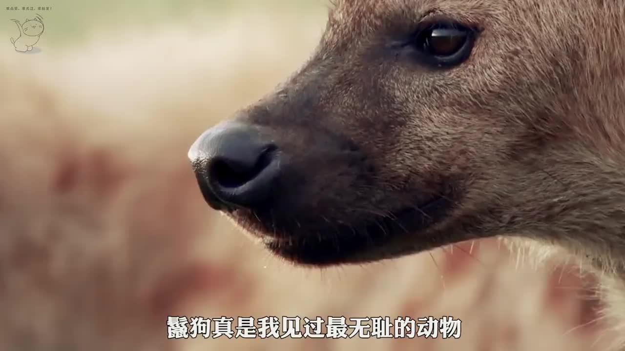 即将分娩的母狮尾巴被咬掉,也被驱逐狮群,能活下去吗?