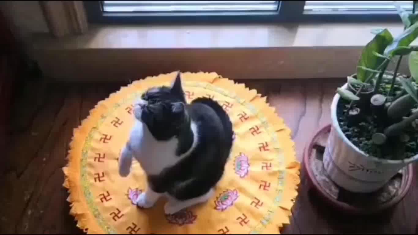 猫主人长期拜佛,豢养的奶牛猫咪会跟着参拜!