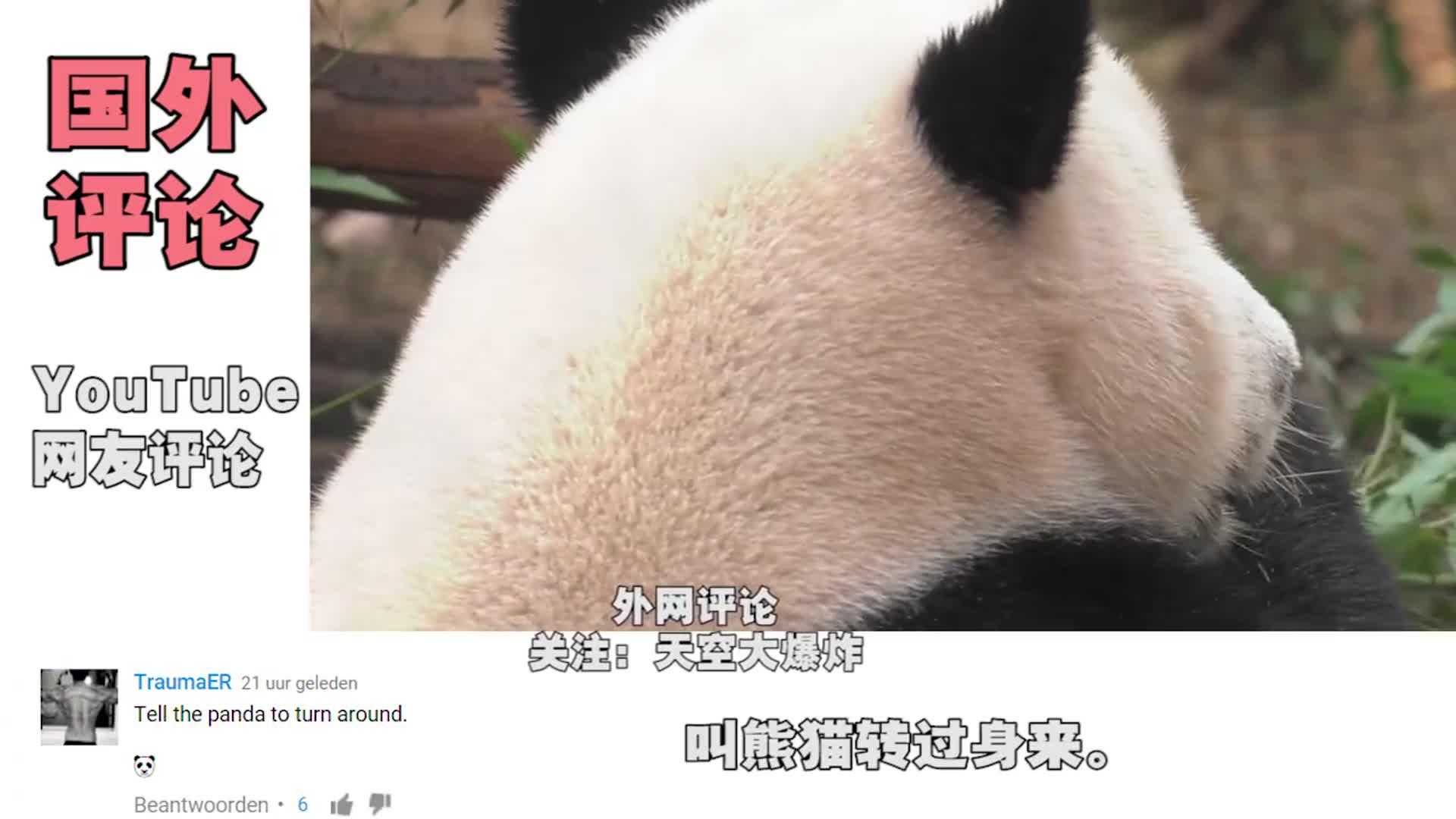 """专心吃饭的""""滚滚""""太萌了,YouTube外国网友:圆圆的后脑勺!"""