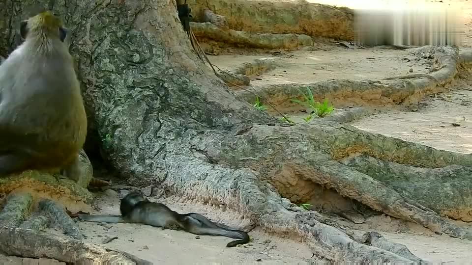 母猴把丹妮拉的尸体带在身边,丹妮拉生前受欺负时你去哪里了