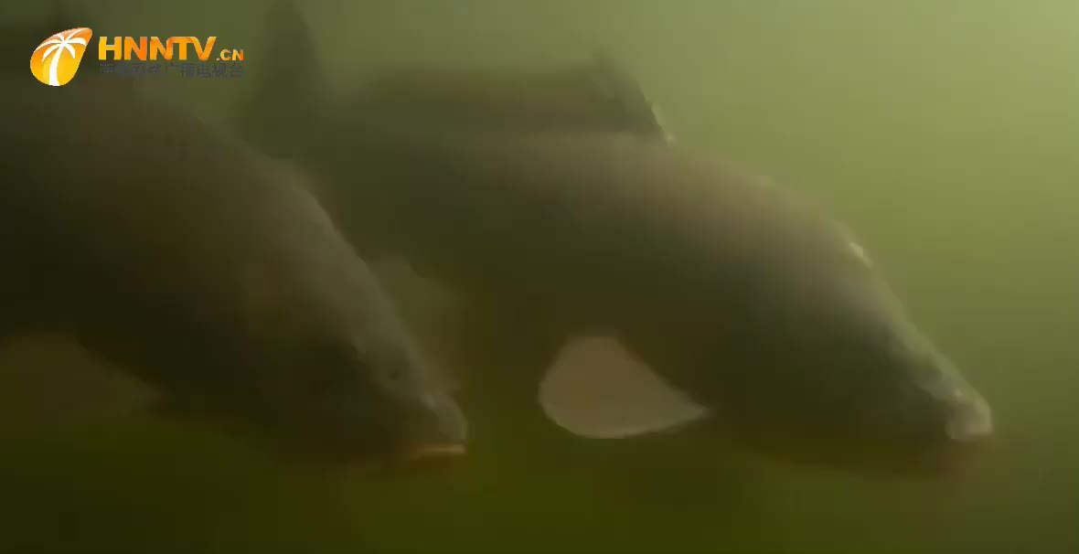 欲望冲昏头脑的鲤鱼为了繁殖拼命游到上游却没想到搁浅在河滩