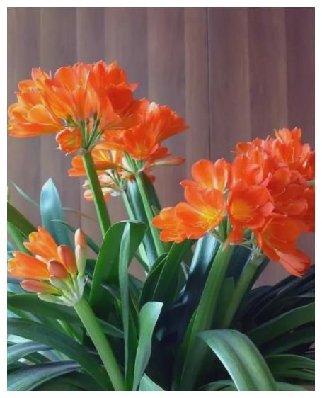 想要君子兰快速开花?教你3招,学会了叶片油亮,绽放层叠群花