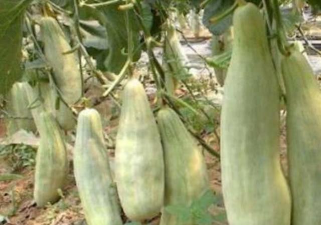 """农民种植这种""""网红水果"""",没吃过的都以为是南瓜,吃过的举手!"""