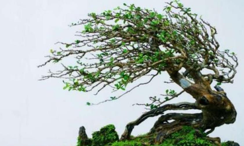 盆景养护:博兰盆景换盆注意事项