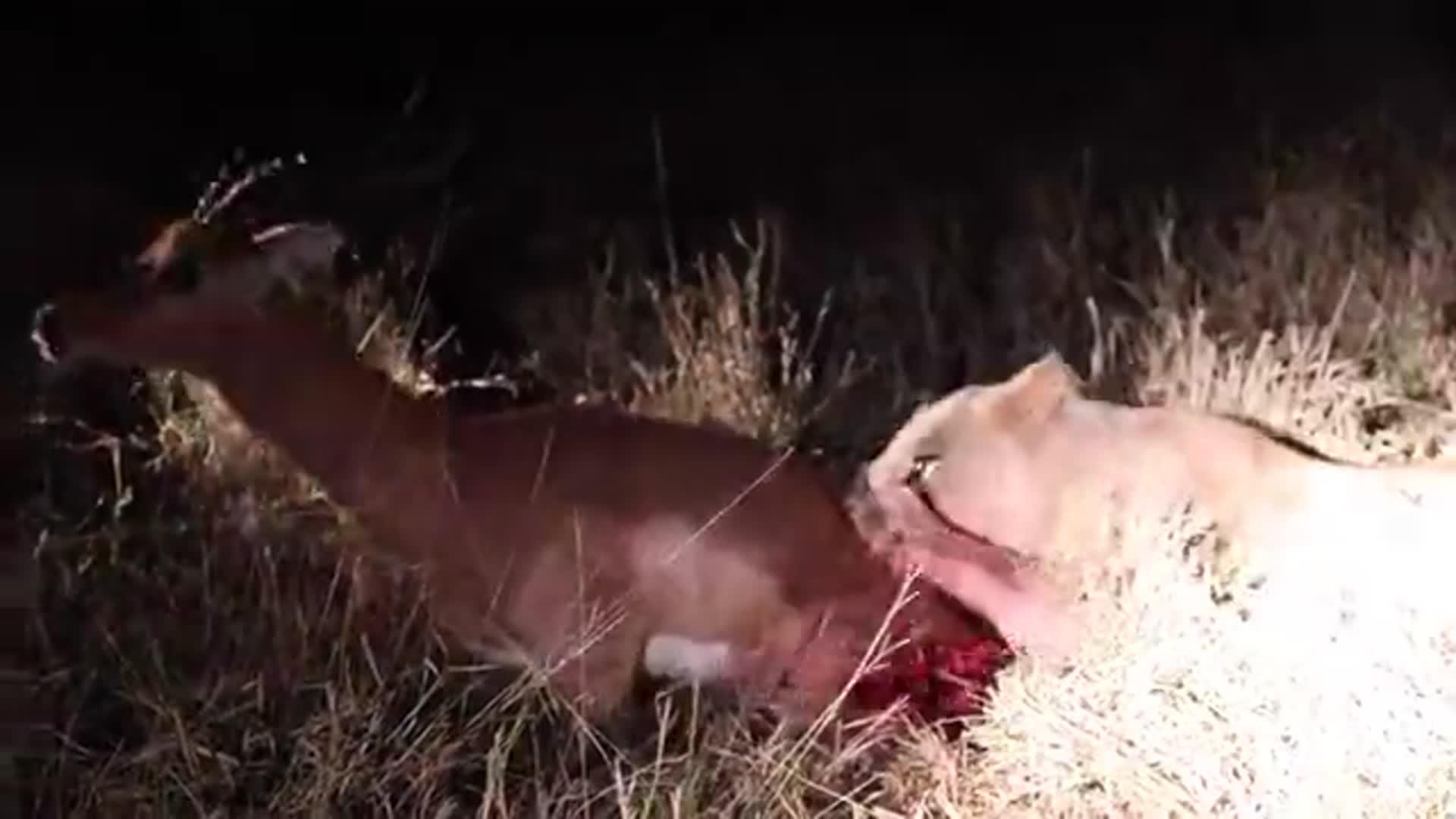 弱肉强食动物界 狮子活吃黑斑羚