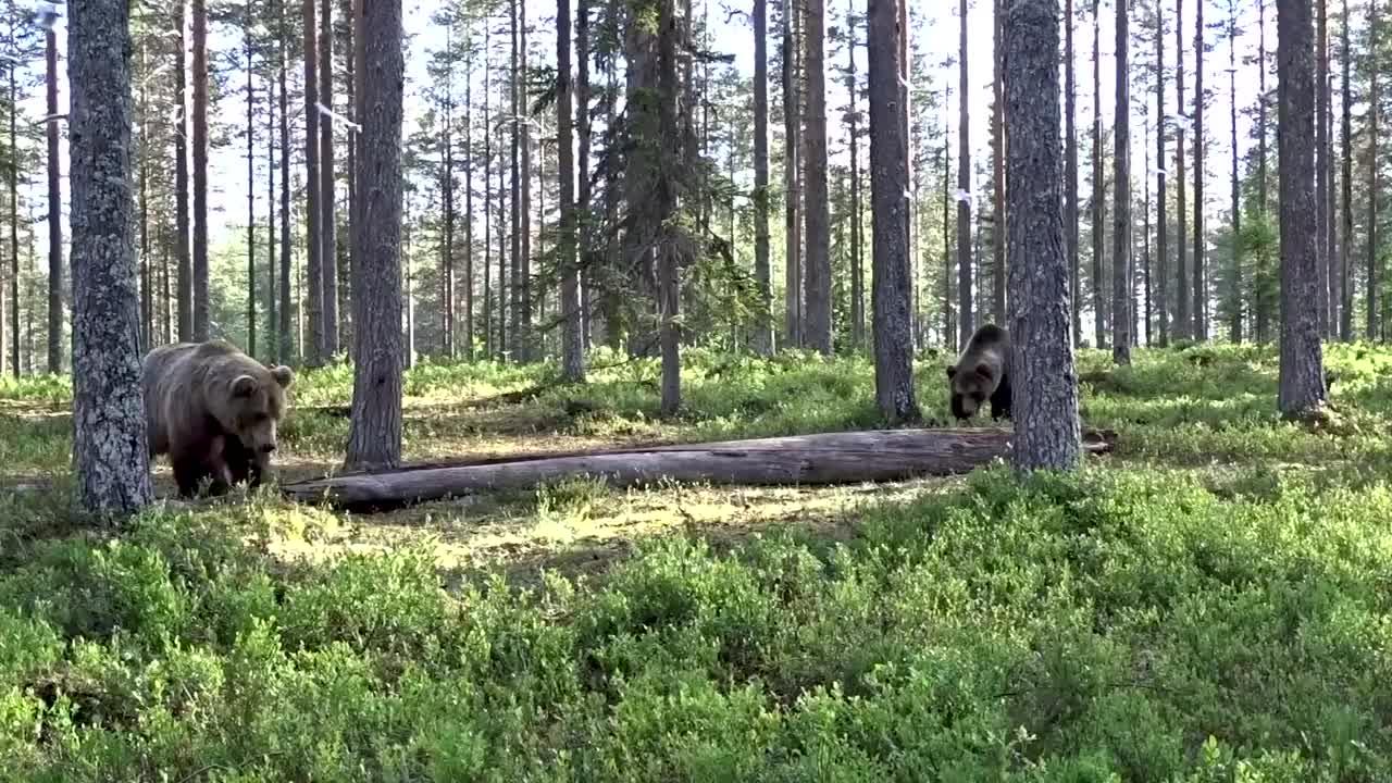 棕熊与棕熊之间的硬钢,陆地上食肉最大的棕熊还有对手吗