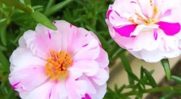 """爱上养花,那就试试""""花中精品""""白重楼,洁白如玉,冰清玉洁"""
