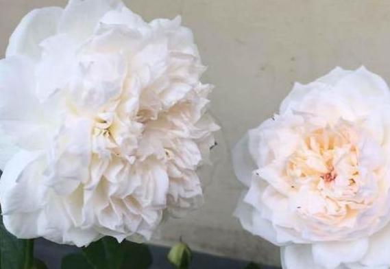 """爱上养花,那试试花中精品""""波莱罗"""",花开粉嫩似少女,含情待放"""