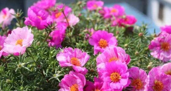 """爱上养花,那就养盆花中美品""""轻歌曼舞"""",似彩蝶群舞,婀娜多姿"""