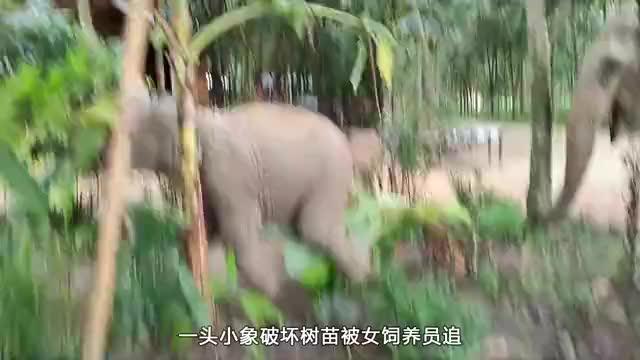 小象拆家被追,还越玩越起劲,画面十分的滑稽