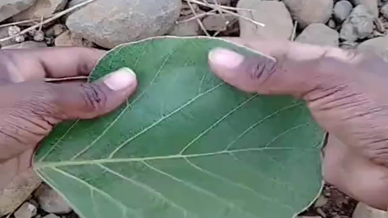 非洲部落的巧手,树叶可以用来装水,这不就是我们长用的茶碗吗?