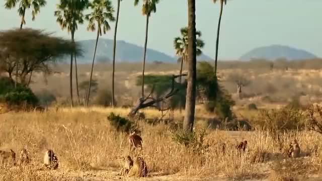 狒狒追逐并杀死猎豹救黑斑羚
