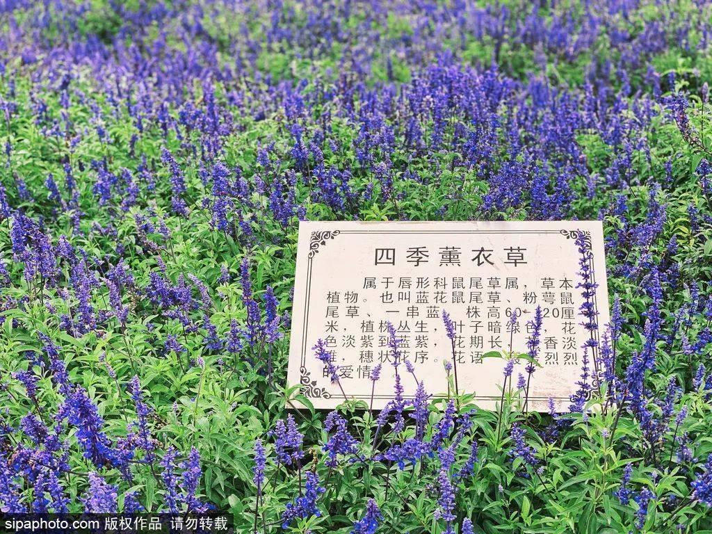 走进莫奈花园,紫谷伊甸园的薰衣草盛开了~