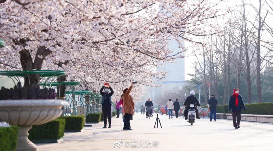 潍坊一年一次!樱花大型直播现场……
