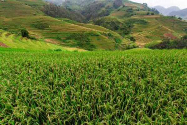 """新疆""""稻""""路越走越宽,耐盐碱水稻亩产再创新高"""
