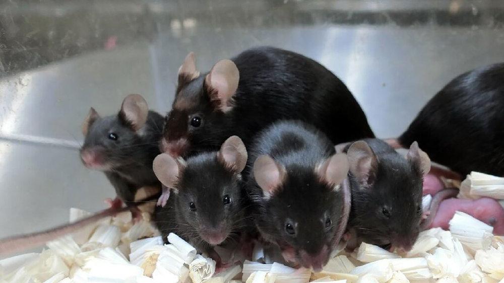 空间站储存6年,小鼠精子仍成功培育健康后代