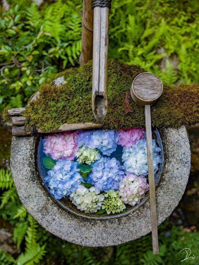 日本镰仓 紫阳花每年夏天都对公众开放
