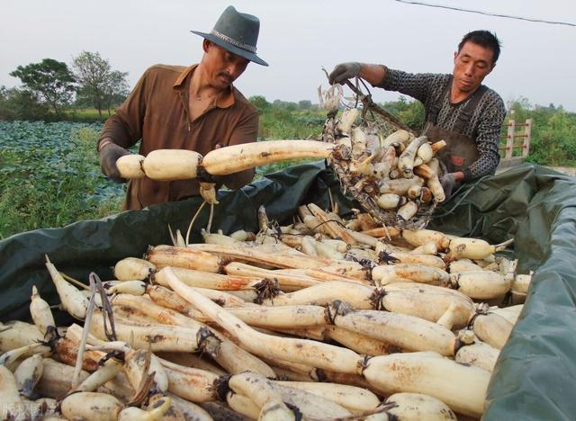 北京新发地:辣椒类和豆角类蔬菜价格基本都降了,莲藕、香菜价格上涨