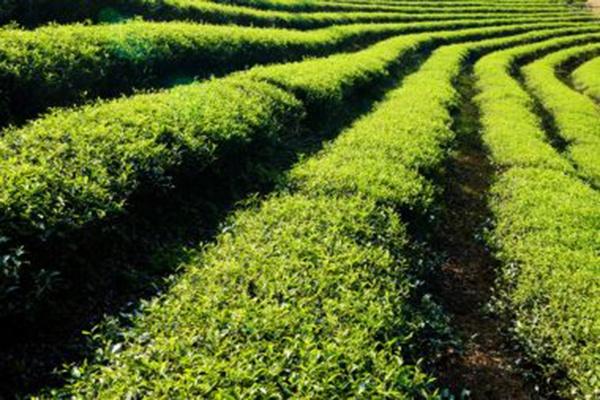 """禄丰:科技引领为国家粮食安全增强后劲——禄丰""""楚粳54号""""水稻新品种亩产达920.99公斤"""