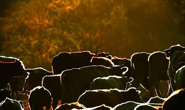 南方人眼中的坝上草原,被夕阳包裹着的牧群,风景怡人温馨