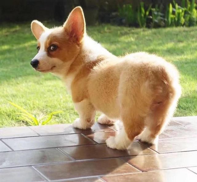 世界10大長得超可愛的狗狗,柯基和吉娃娃均上