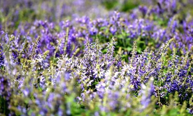 快去打卡!驻马店这里有个7000多亩的紫色花海,美翻了