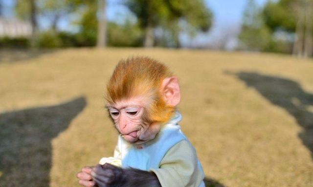 宠物真的越与众不同越好吗?想要饲养猴子的你,需要了解这些