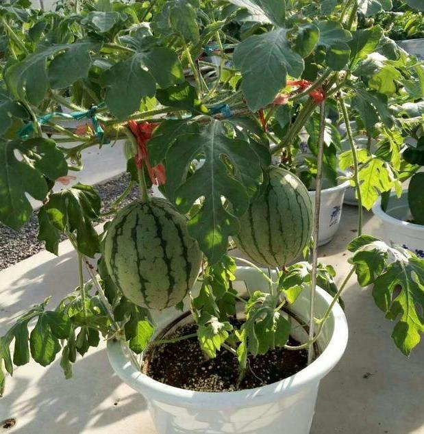 夏季盆栽水果就种西瓜,阳台养殖注意4点,不愁吃不到新鲜瓜果