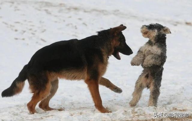 """""""犬""""和""""狗""""有什么区别?以后真不能乱叫了,这里学问还真不少"""