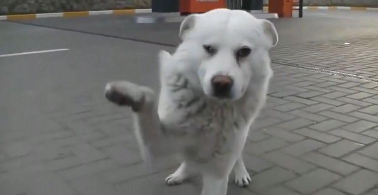见人就讨好的流浪狗,可当其讨到食物却转身离去,这到底是为何?