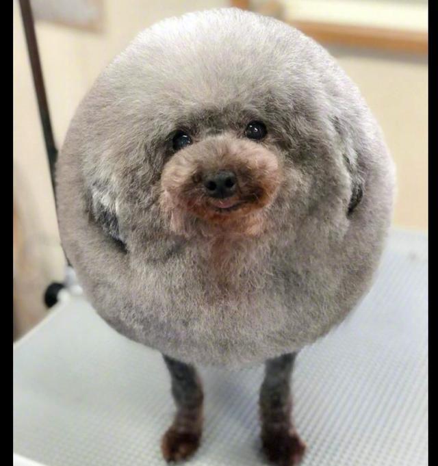 宠物店给狗狗做了个新造型,看了十分可爱,但是就怕它会被踢呀!