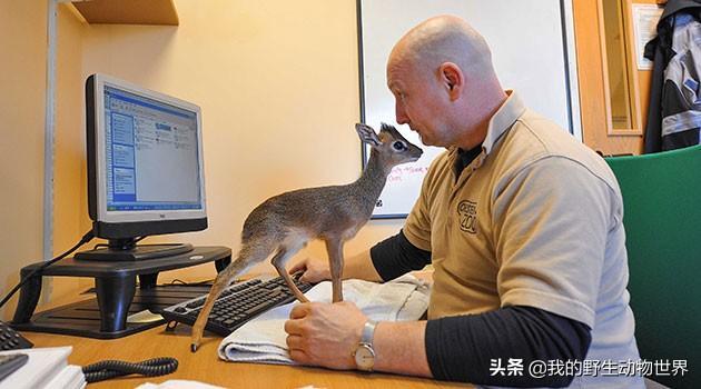 犬羚自带美瞳眼睫毛,被有钱人当宠物养,售价高达6000美元