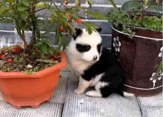 田园犬意外怀孕,生下一只小狗崽,成了熊猫模样,狗:我成国宝咯