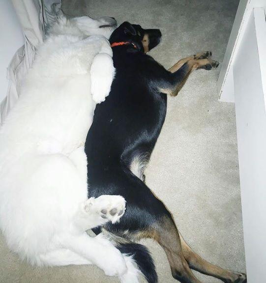 领养第二只狗会吵架吗?不会!新来的「大白熊弟弟」超黏哥哥!