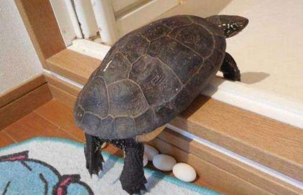 男子家养的宠物龟生蛋了,他接下来的行为却让大家非常意外!