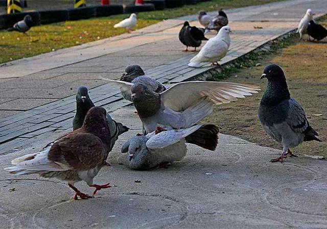 鸽子因太胖无法飞行,但见到主人家的小奶狗后,它竟下定决心减肥