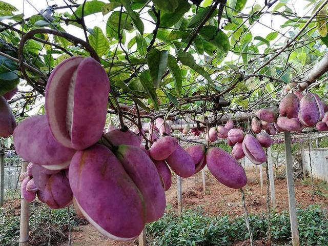 """这种水果中国农村多的是,在日本可是""""顶级水果"""",没点钱吃不起"""