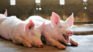 振静股份跨界养猪惹来批评,是否重组