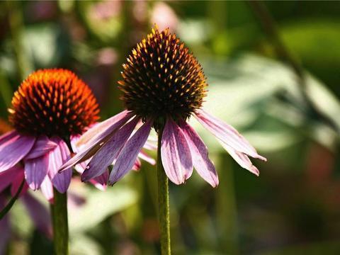 这花耐热又好养,养在院里颜值高,名叫松果菊不常见却耐看