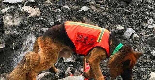 害怕打疫苗的搜救犬勇敢上前线了 筋疲力尽满身泥泞瘫倒在地