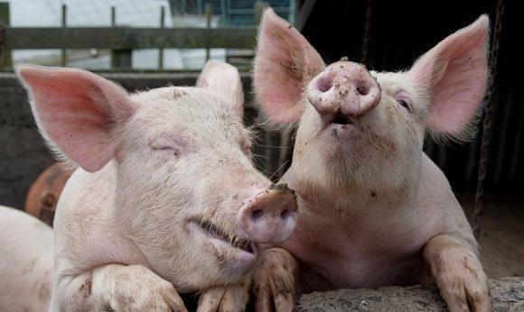 """《【无极2娱乐官网登录】猪价涨势再起,是""""理所当然"""",还是""""昙花一现""""?看业内怎么说》"""