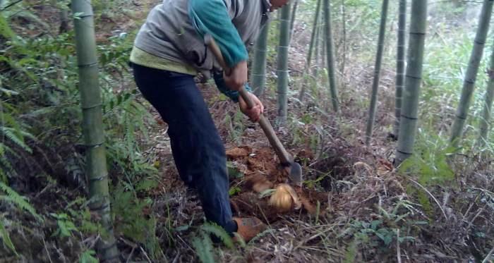 农村大爷竹园干活, 无意间挖出一个好宝贝, 高兴怀了