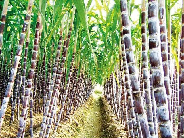 白糖:今年甘蔗主产区受旱严重 背后千万蔗农种植收益恐受损