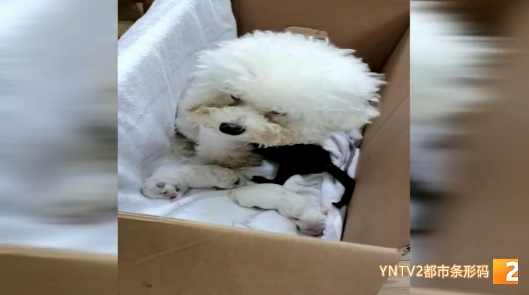 """再寻新妈妈!20天的哺育,小黑豹体重已超1公斤,狗奶妈""""玛丽""""功成身退"""