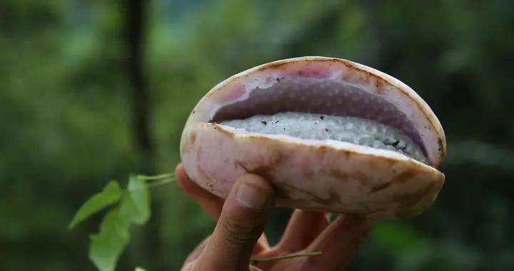 果形似猪腰,这样的珍稀野果子你吃过没